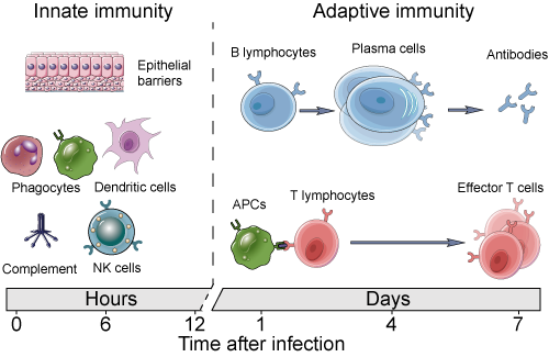 innate and adaptive immunity2