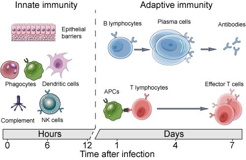 innate and adaptive immunity2