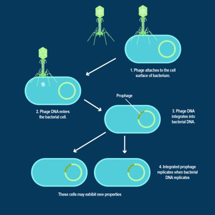 tn-bacteriophagelysogenic1535109618216
