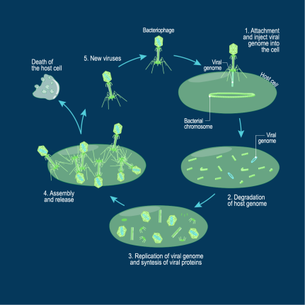 tn-bacteriophagelytic1535109334446